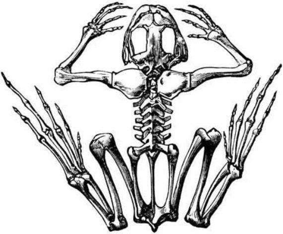 frog skeleton animal anatomy printable art print digital download image graphics crafts printable black and white artwork