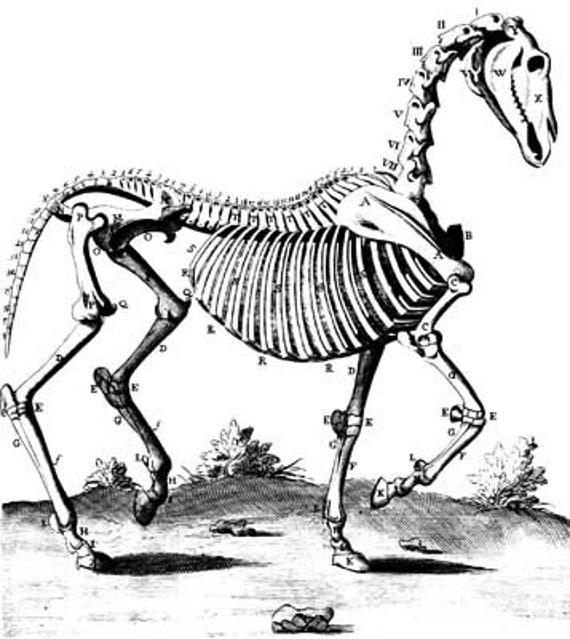 horse skeleton animal anatomy illustration printable art clipart png digital download image graphics science black and white