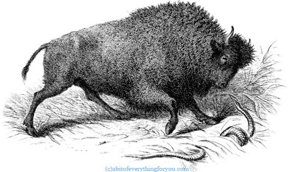 bison buffalo animal printable art print clipart png digital download vintage illustration image graphics digital stamp