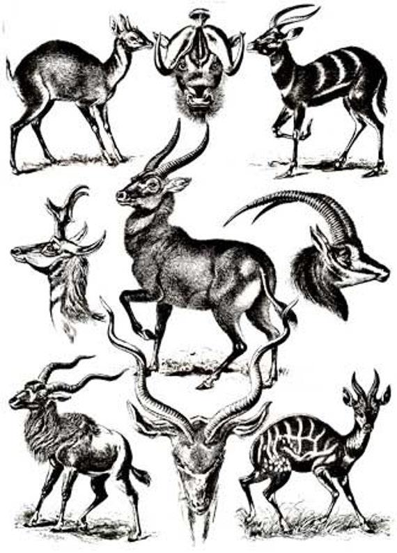 deer antelope horned animals printable art print png jpg download digital vintage image nature wildlife graphics black and white