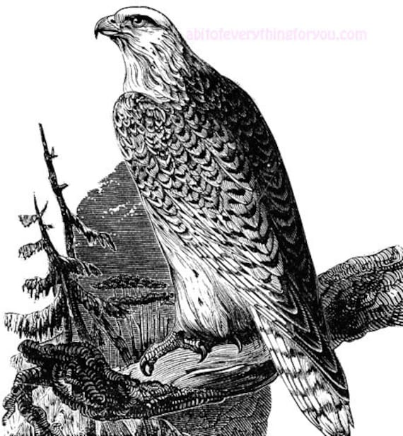 white falcon bird vintage art clipart png jpg download digital animal image graphics printable downloadable nature wildlife illustration