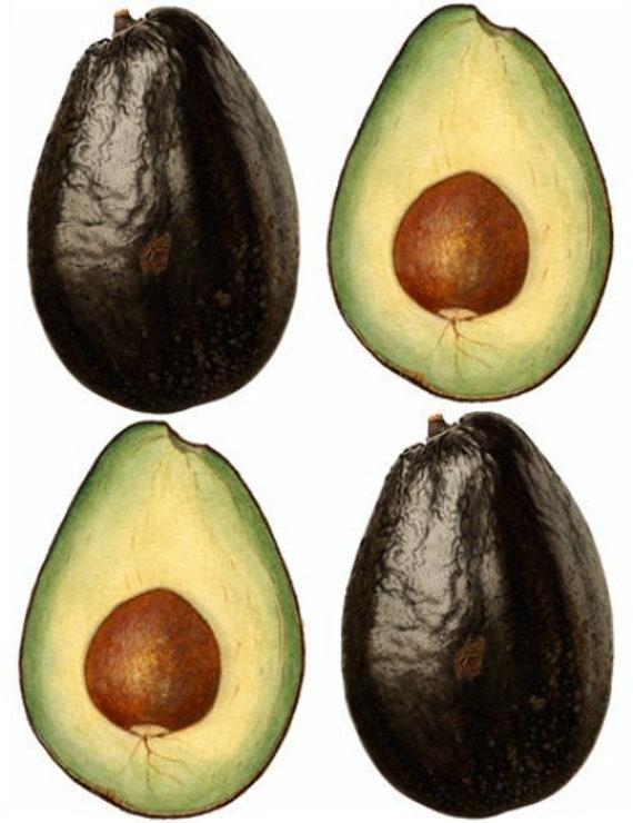 Black avocados fruit watercolor painting printable art png jpg clipart instant download digital image garden graphics image kitchen decor