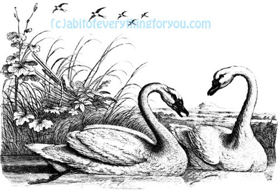 printable swan birds art print clipart png instant downloadable wildlife animal nature digital download vintage image graphics