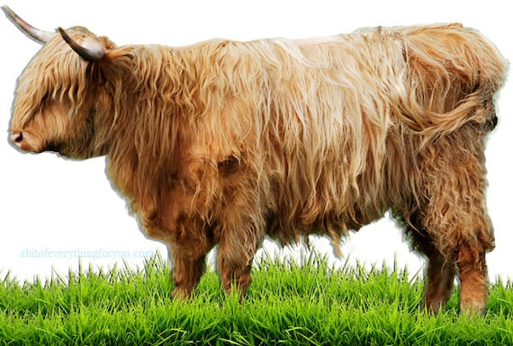 highland young bull bovine printable animal art digital download, cow printable, photography farm ranch animals