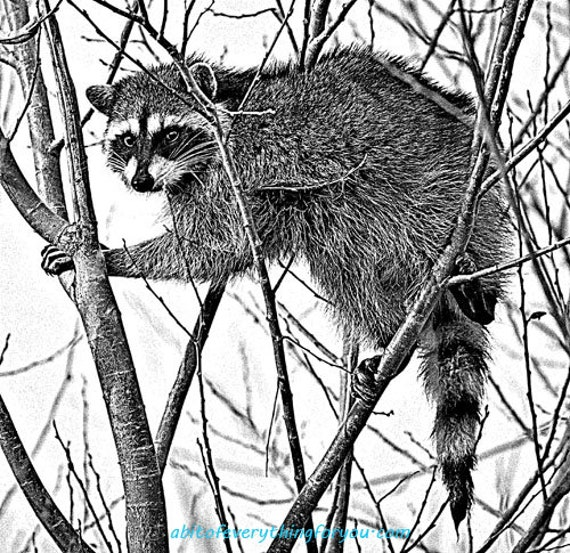 racoon in tree animal printable art download digital image png jpg graphics downloadable nature wildlife art