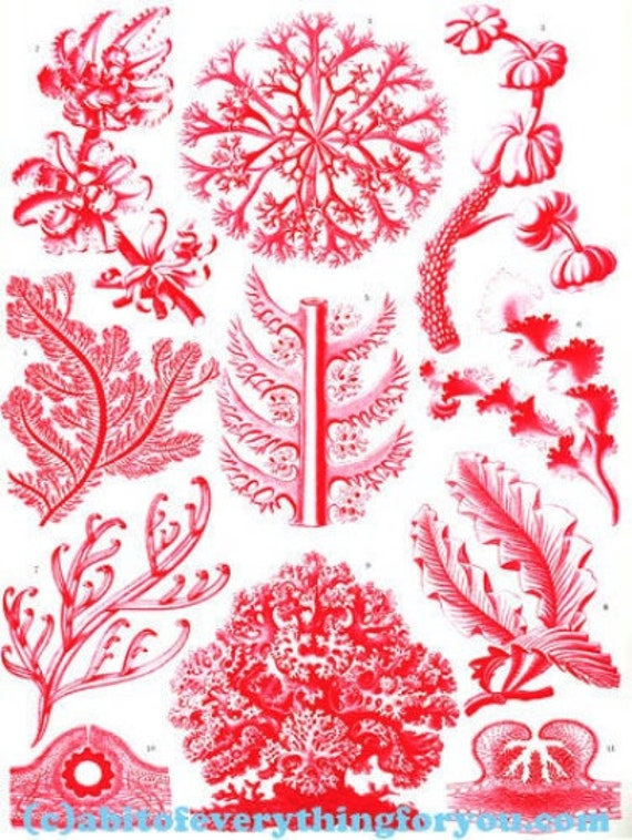 "red aquatic plants coral sealife ocean art printable clipart png digital downloadable vintage image 8.5"" x 11"" nautical beach home decor"