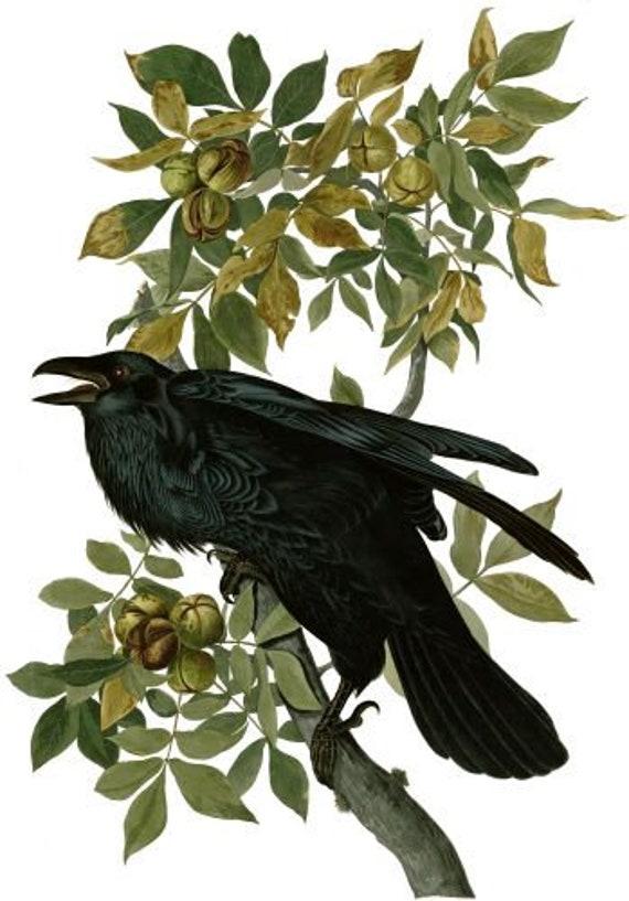 black raven crow bird animal printable art download digital image png jpg tree graphics downloadable nature wildlife art