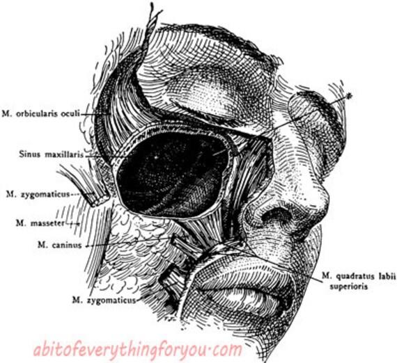 male human anatomy sinus chart medical art clipart png printable art download digital image graphics vintage science biology artwork