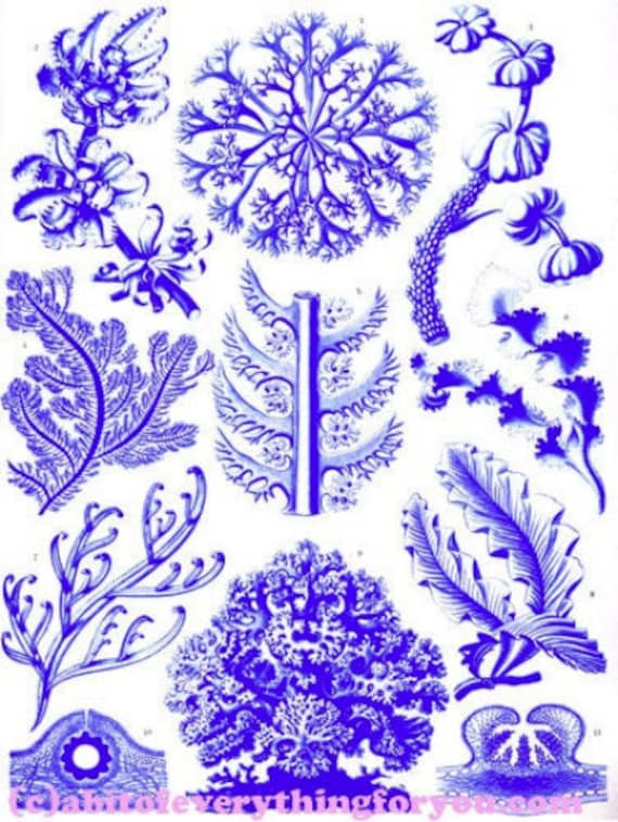 "blue coral aquatic plants sealife ocean art printable clipart png digital downloadable vintage image 8.5"" x 11"" nautical beach home decor"