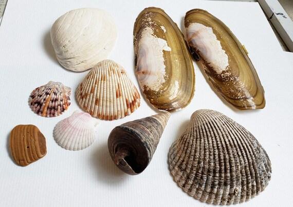 9 assorted sea shells aqaurium fish tank  terrarium decor diy beach nautical craft supplies