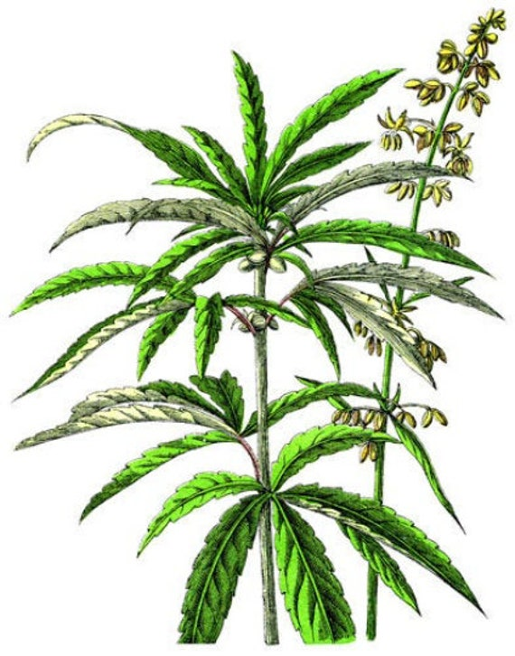 colored marijuana Cannabis leaf illustration png jpg vintage wall art printable digital instant downloads