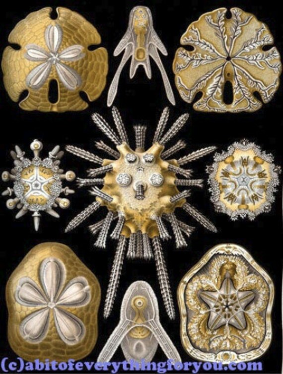"sea urchins sand dollars sealife ocean art printable beach digital downloadable vintage image 8.5"" x 11"" nautical beach home decor"