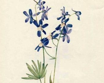 Vintage 1953 Dwarf Larkspur Botanical, Floral Print for Framing, American Wildflower