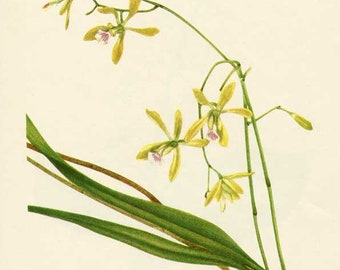 Vintage 1953 Butterfly Orchid  Botanical, Floral Print for Framing, American Wildflower, Yellow Flowers