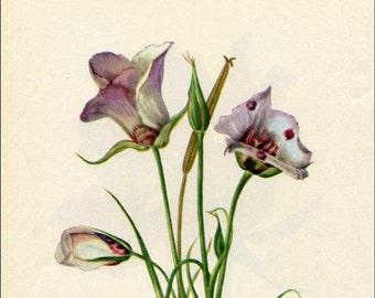 Vintage 1953 Catalina Mariposa Botanical, Floral Print for Framing, American Wildflower