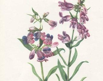 Vintage 1953 Prairie Beard-tongue Perennial Plant, Botanical, Floral Print for Framing, American Wildflower, Lavender Blossoms