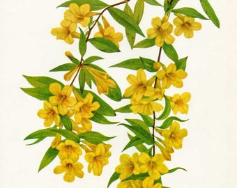 Vintage 1953 Carolina Jasmine Botanical, Floral Print for Framing, American Wildflower, Yellow Jasmine Flowers