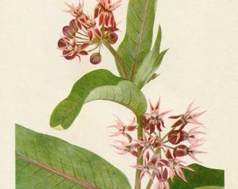 Vintage 1953 Showy Milkweed Plant, Botanical, Floral Print for Framing, American Wildflower, Pink Flowers
