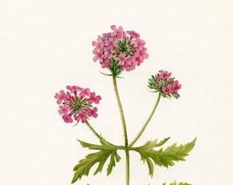 Vintage 1953 Verbena Botanical, Floral Print for Framing, American Wildflower, Verbena Blossoms
