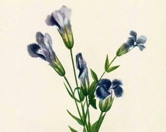 Vintage 1953 Fringed Gentian Botanical, Floral Print for Framing, American Wildflower