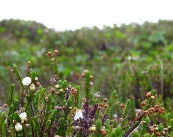 flowers of the summit - digital photography download - instant download, mountaintop, alaska wilderness, wild heather