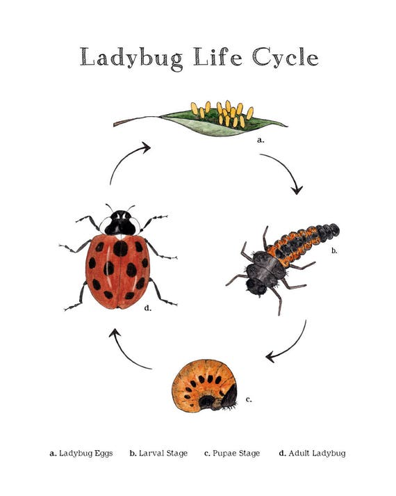 ladybug life cycle educational printable art a4 and 8x10 etsy