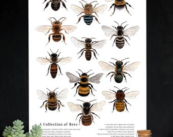 School Room Chart - A Collection of Bees - 12 x 18 Poster - Native Bees, Montessori, Educational, Insects, Nature Study, Entomology