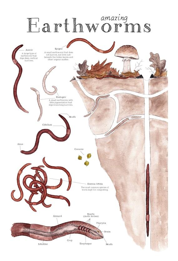Amazing Earthworms 12 X 18 Poster Earthworm Anatomy Etsy