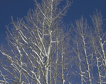 Winter Treetops against Blue Winter Sky Photograph Blue White Wall Decor