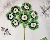 Primula Auricula No. 1, original watercolor painting, botanical painting, floral art