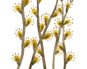 Willow Catkins Print,  botanical print, botanicals,  giclee art print, spring flowers illustration, watercolor pussy willows