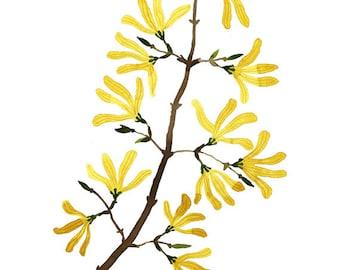 Forsythia Branch Print, botanical prints, botanicals, flower specimen, giclee art print, spring flowers illustration, watercolor