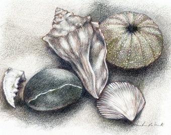 Shell Art Print, Shell Drawing, Beach Shells Colored Pencil Drawing, Shells Urchin Beach Stone, Beach Theme Art, Beach Things Fine Art Print