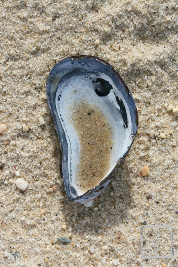 """Mussel,"" Crab Meadow Beach, Centerport, Long Island, New York, 2016."