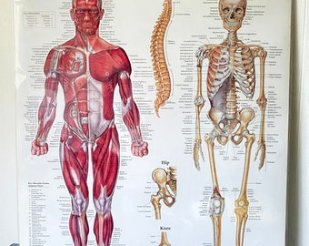 Vintage Muscular and Skeletal System Poster - Science Diagram - Medical Chart - Human Anatomy - Halloween Decoration