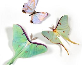 Luna Moths and Morpho Butterflies Lasercut Papercut Decoration New