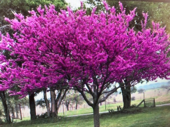 Beautiful 1 Redbud Tree Live Trees Blooms Blooms Blooms Etsy