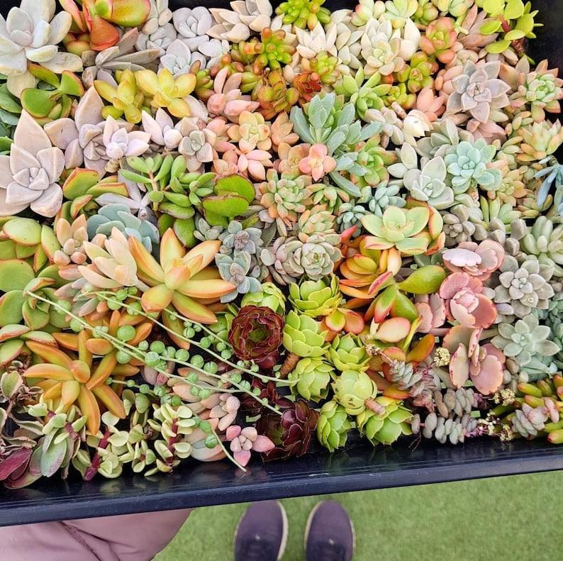DIY Succulent cutting clipping arrangement display exotic collector wedding bouquet bride bridesmaid groom groomsman favour gift Australia