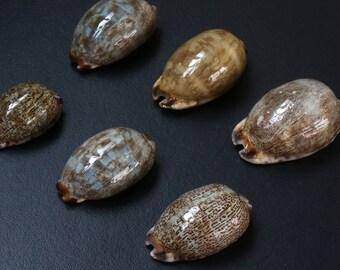 """6 Cowry shells (1 3/4"""" - 2 1/4"""")"""