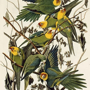 Painted Buntings by John James Audubon 9 x 12 mono deluxe Needlepoint Canvas