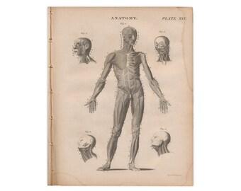 Grabados de originales antiguos de edición de 1824 de Encyclopædia Britannica; Anatomía: Sistema muscular - nos envío gratis