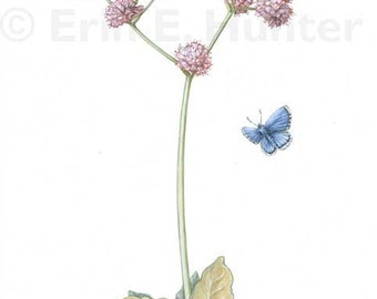 Smith's Blue Butterfly and Coast Buckwheat