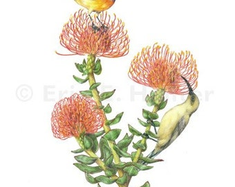 Orange-Breasted Sunbirds and Pincushion Protea