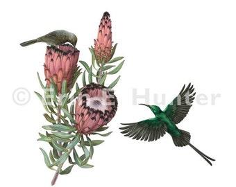 Malachite Sunbirds and Protea Neriifolia