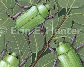 Beyer's Scarab & Mexican Blue Oak