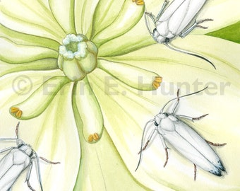 Yucca Moths and Chaparral Yucca