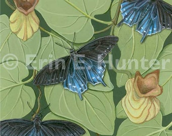 Pipevine Swallowtails and California Pipevine