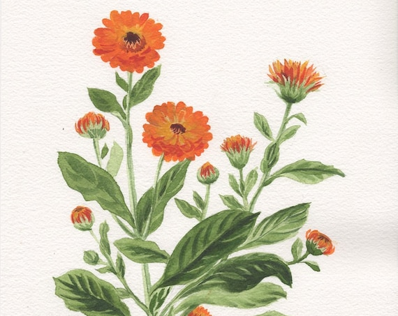 Botanical original painting of Calendula plant