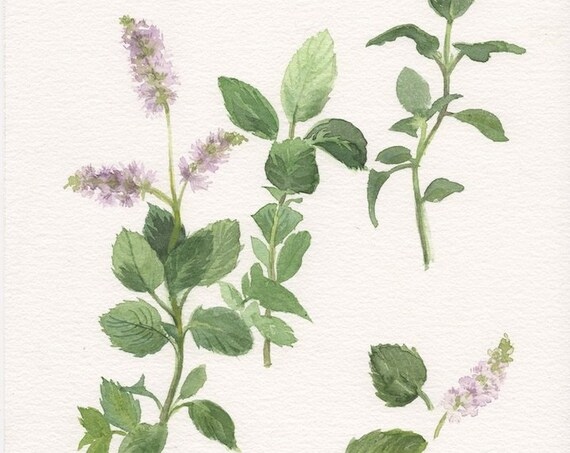 Botanical original painting of Mint plant