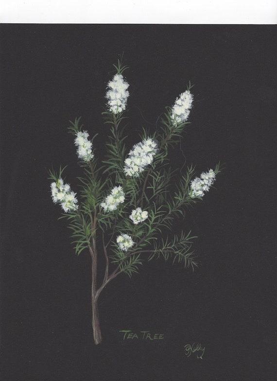 Botanical original painting of the Tea tree plant